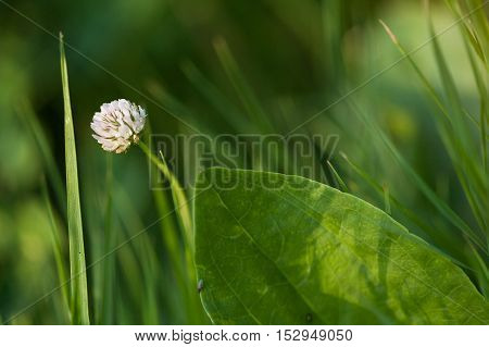 Clover flower in a grass. Clover flower close up. Wild flowers. Forest flowers. Meadow flowers.