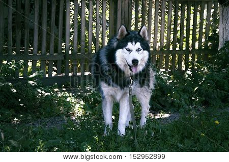 husky, dog, siberian, wolf, white, blue, fur, nature, beautiful, color, face, brown, green, wild, eyes, alert, canine, background, bright, female, grass, yard, siberia, alaskan, animal, handsome, cute, pethusky, dog, siberian, wolf, white, blue, fur, natu