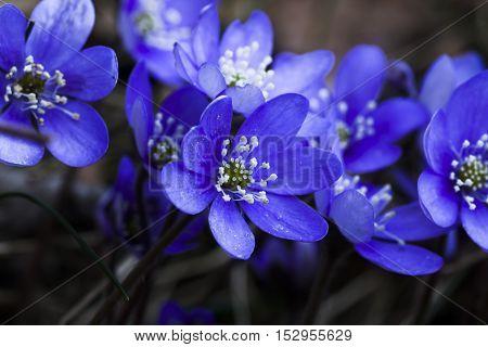 blue anemones close together (hepatica nobilis) in latin)