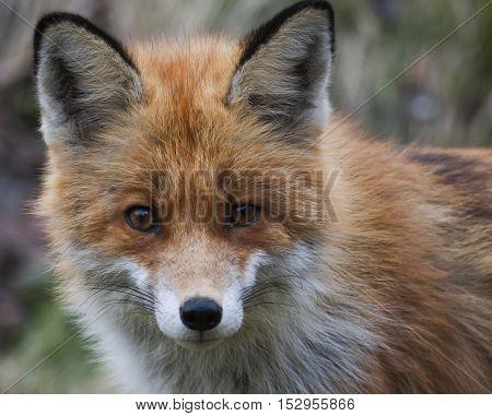 a close up of a red european fox