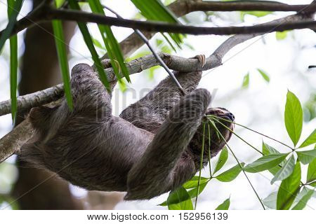 Three Toed Sloth In Costa Rica