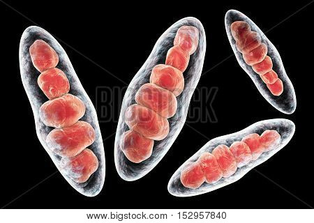 Macroconidia multi-celled bodies of fungus Trichophyton mentagrophytes, 3D illustration. This microscopic fungus causes athlete's foot Tinea pedis and scalp ringworm Tinea capitus