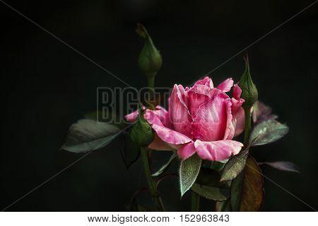 роза, цветок, кустарник, розовая, осенняя, декоративная,растение,королева цветов.