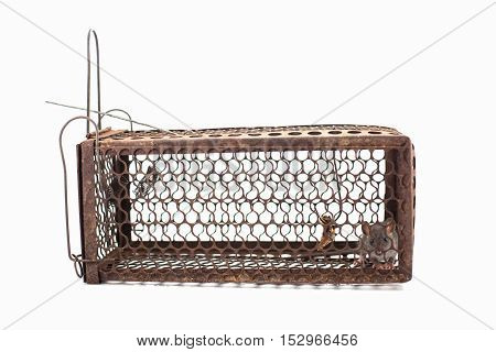Rat trapped in the cage on white background
