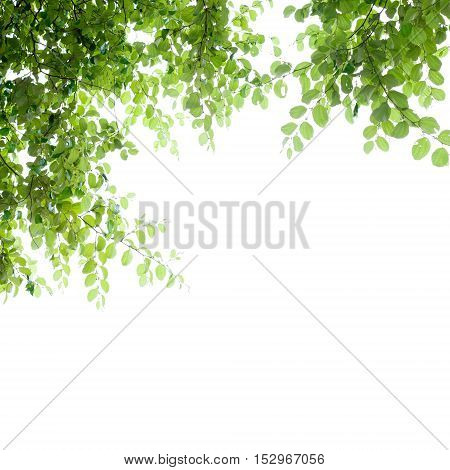Beautiful green leaves frame isolated on white abstract nature background for spring summer background and product