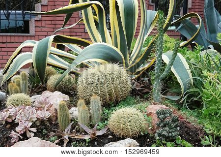 Various types of cacti and succulent plants in the flowerbed.