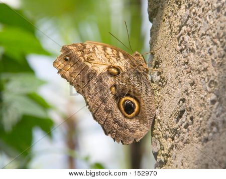 brown butterfly rests on a rock wall, camouflaged by the pattern in his wings. poster