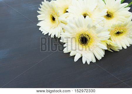 Cream fresh gerbera flowers on dark wooden table close up