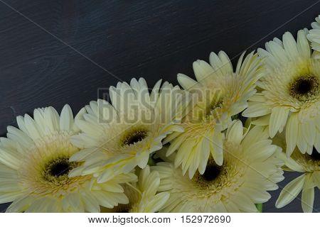 Cream gerbera flowers border on dark wooden table close up