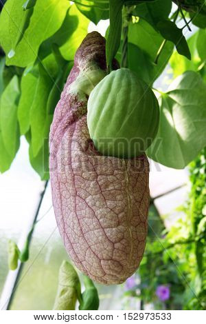 Closed flower bud aristolochia hanging among the leaves