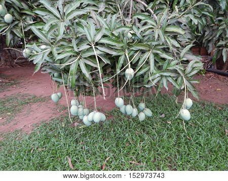 Mangoes on Mango tree as seen in a compound in Ado Ekiti Nigeria
