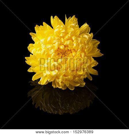 Chrysanthemum yellow flower head side view isolated on black glossy background with realistic reflection