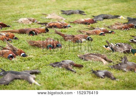 Apportion of hunting trophies. An apportion of the bird game on hunting. A brace of pheasants and duck after the hunt.