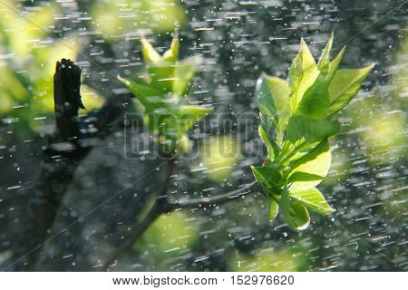 Spring rain. Rain on long exposure. Spring leaves and drops of a rain. Spring leaves on trees. Green leaves on trees under sun beams. Spring tree.