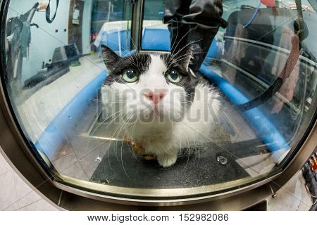 A cat looking for help from cage of Veterinarian rehabilitation therapy on water tapis roulant.