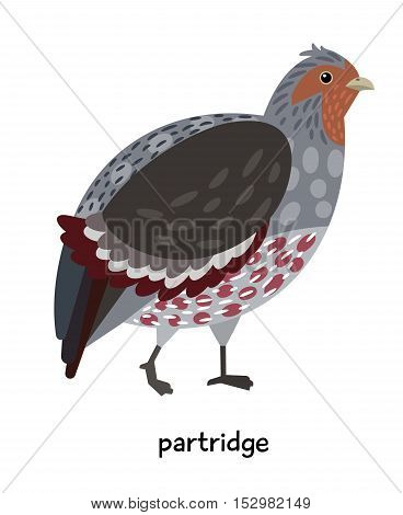 Fat Partridge with beautiful colored plumage vector illustration