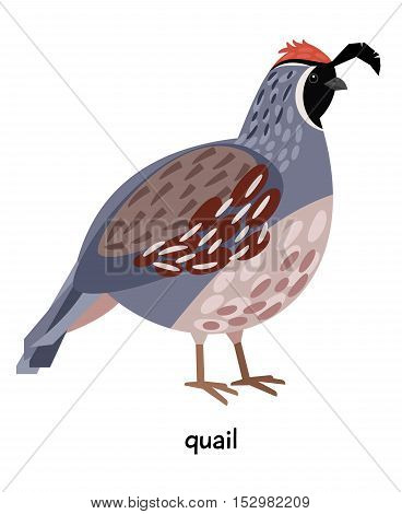 Fat Quail pileated and nice plumagevector illustration