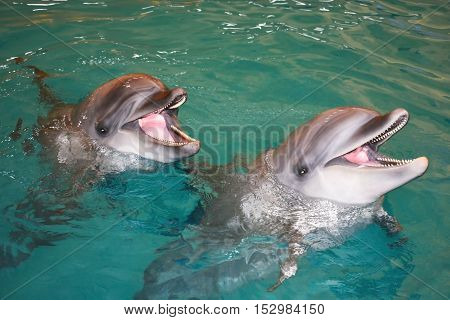 two smiling dolphins in the turquoise water