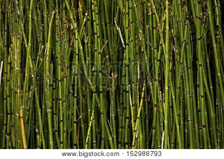 Equisetum hyemale, commonly known as rough horsetail, scouring rush, and in South Africa as snake grass