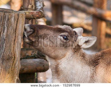 Rangifer tarandus fennicus - Finnish forest reindeer