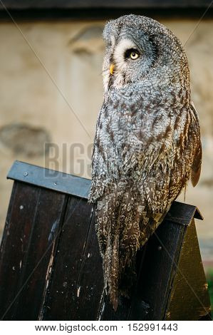 The great grey owl or great gray owl , Strix nebulosa, is very large owl. Wild bird