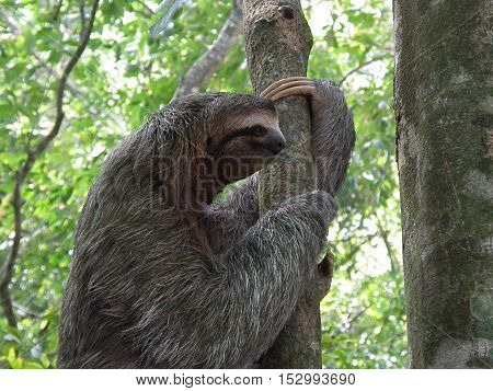 Sloth climbing a tree in the rainforest of Costa Rica.