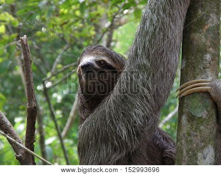 Sloth climbing a tree in Manuel Antionio's rainforest in Costa Rica.