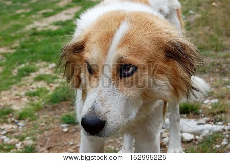 Big foxy-colour dog look in the mountains of Bulgaria.