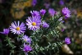 Group of lila Astra flowers. Photo texture nature background. poster