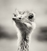 Emu portrait - Dromaius novaehollandiae. Beauty in nature. Flightless bird. Black and white photo. Looking at the camera. Humorous scene. poster