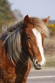 Head shot of a New Forest Pony. poster