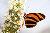 closeup of orange and black striped butterfly on a white flowered plant. poster