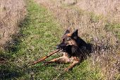 German shepherd dog lying on green grass chewing a stick poster