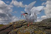 An Arctic Tern lands on the Farne Islands with food for its young. poster