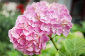 Beautiful pink hydrangea flower in a garden with raindrops on the petals poster