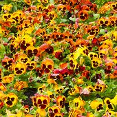 viola tricolor pansy, flowerbed poster