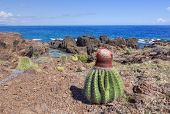 Melocactus Turk's cap cactus thrive in dry rocky landscape of Soldier's Point on Caribbean island of Isla Culebra in Puerto Rico poster