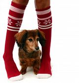 Legs in Christmas stockings with a puppy, isolated. poster