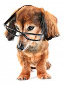 Smart dog! Dachshund wearing reading glasses. Part of a creative series featuring the same pup. poster