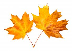 Autumn card of maple leaves. Flat, leaf, autumn.