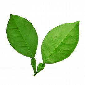Leaf isolated on white background. Flat. Green.