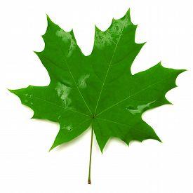 Green maple leaf isolated on white background. Flat. Autumn.