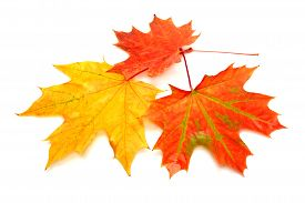 Autumn card of maple leaves. Flat. Fall.