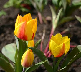 Yellow tulip in the meadow. Flat. Flower.