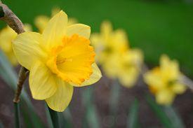 Yellow narcissus. Flower. Flat. Macro. Yellow. Spring.