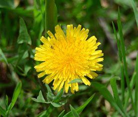 Yellow dandelion in the green grass. Flat. Flower.