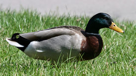 Duck in the Lawn