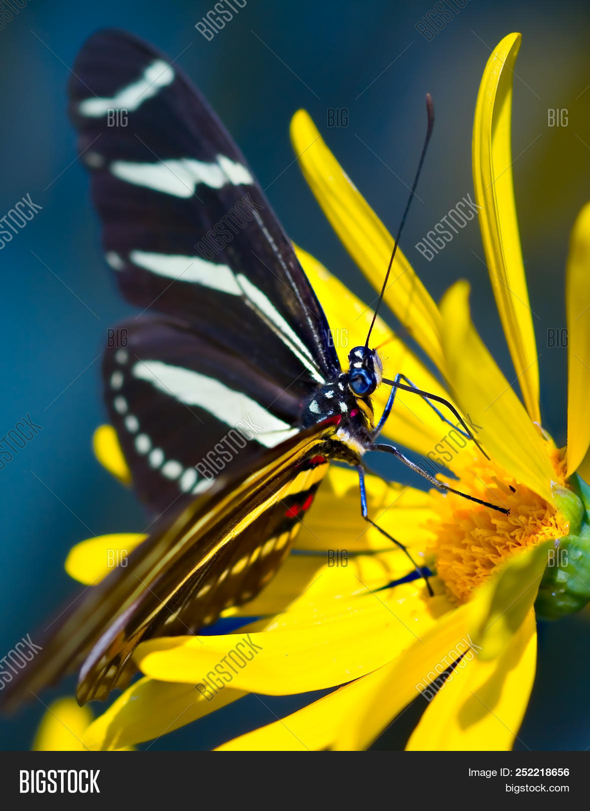 A Zebra Butterfly Feeding On A Wildflower At A Botanical Exhibit In The  Phoenix Botanical Garden