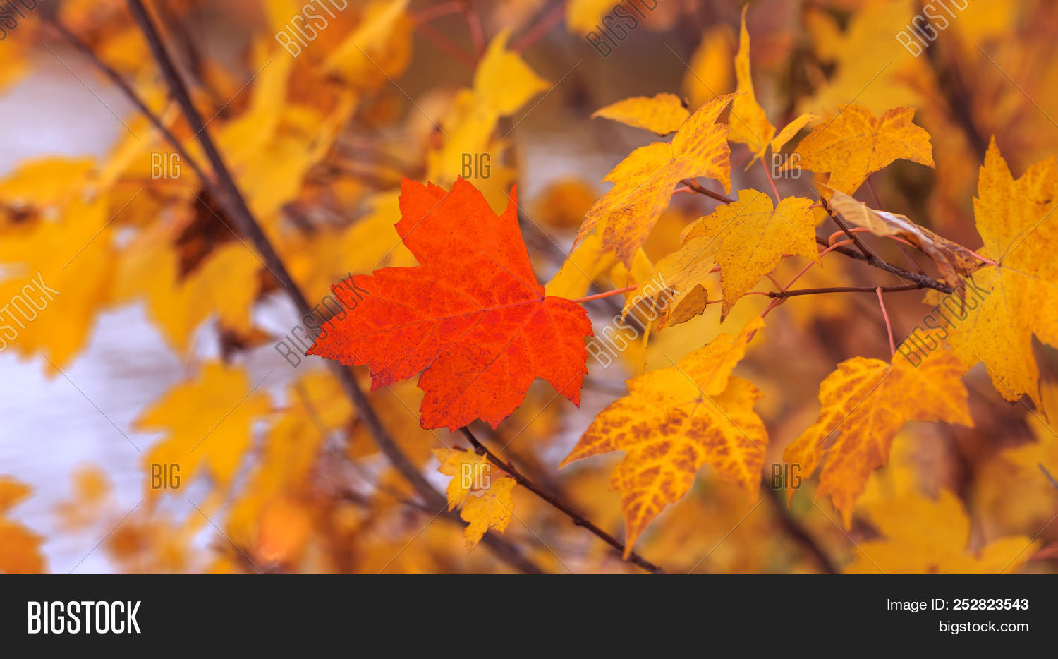 Red Maple Leaf Image Photo Free Trial Bigstock