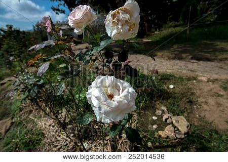 Three White Roses In The Garden Nearly A Walkway To Home, Flower Decoration
